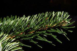 Echter oder künstlicher Weihnachtsbaum?